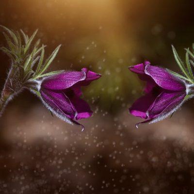 Zwei lila Anemonen öffnen einander zugewandt ihre Blüten.
